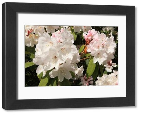 Rhododendrans Flowers in the grounds of Trewithen House near Truro in Cornwall on spring day