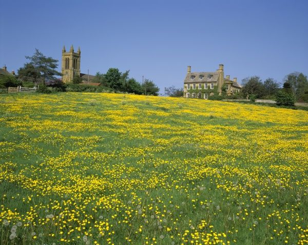 Buttercups. A field of Buttercups in the cotswolds at Broadway on a spring day