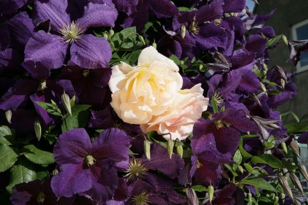Clematis. A cottage garden in the cotswolds with Clematis ( Jackmani ) and a climbing Rose