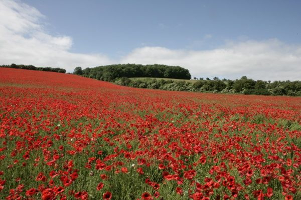 Poppy. A field of poppies in the Cotswold at Andoversford