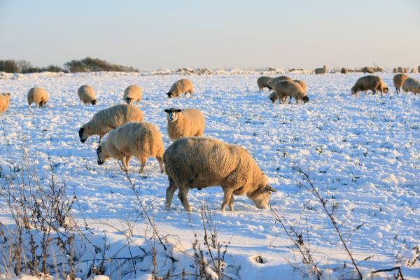 Sheep in a field covered in snow near Burford on cold winters day