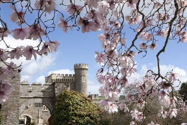 One of the finest Collections of Magnolias and Camellias in the Country at Caerhays Castle on the South Coast of Cornwall in a valley above Porthluney Cove neat St Austell, The gardens cover 120 acres with over 450 magnolias trees