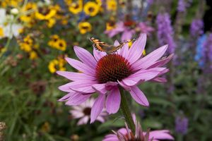 Butterfly ( red admiral ) feeding on Echinacea (Purpurea Pow Wow ) on a summers day