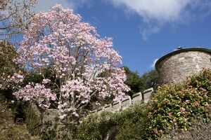Spring Time at Caerhays Castle with its Magnolias and Camellias.